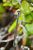 Damselfly - Unidentified - Black and White - Grand Manan Island - New Brunswick