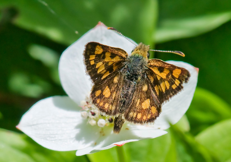 Butterfly - Arctic Skipper-01 - Grand Manan Island - New Brunswick