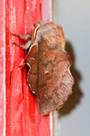 Moth -American Lappet - Marathon Inn - Grand Manan Island - New Brunswick
