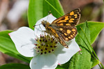 Butterfly - Arctic Skipper-02 - Grand Manan Island - New Brunswick