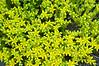 Unidentified yellow flower-Mahone Bay-Nova Scotia