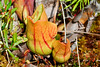 Pitcher Plant-Grand Manan Island-New Brunswick