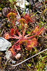 Sundew-01-Grand Manan Island-New Brunswick