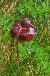 Pitcher Plant-Bog Walk-Cabot Trail-Nova Scotia