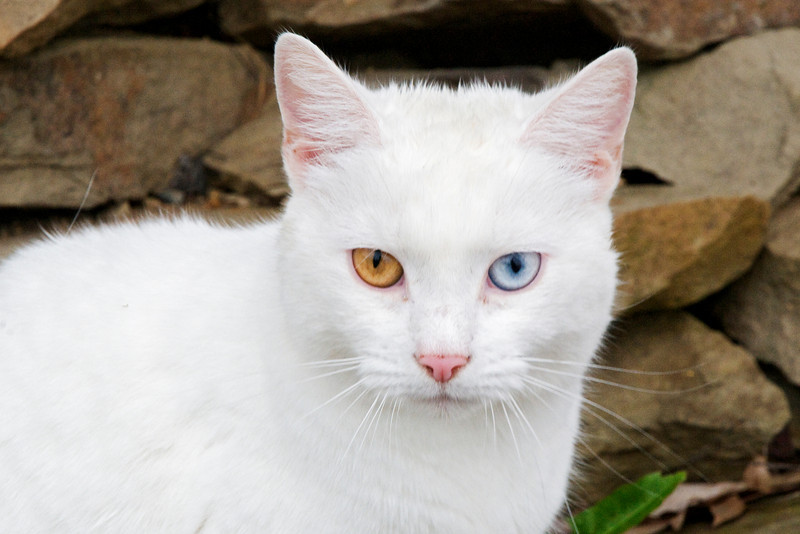 At Hopewell Cape, New Brunswick, we stayed at a bed and breakfast.  The owner's beautiful white cat had one blue eye and one yellow eye.  This is not uncommon in white cats.