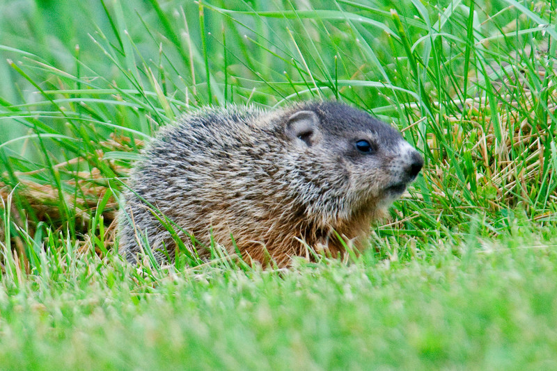 Another shot of a juvenile Woodchuck.