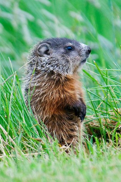 One morning in Hopewell Cape, New Brunswick I came across an adult Woodchuck and three juveniles.  This juvenile sat up and posed.