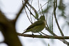 2015-08-03 Red eyed vireo