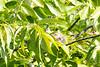 2015-08-04: Common yellowthroat female.