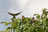 2015-08-03: The barn swallows all landed in this tree for a few moments.