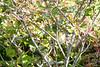 2015-08-04: Common yellowthroat female