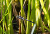 2015-08-03: What I suspect is a black tipped darner.