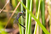 2015-08-03: What I suspect is a black tipped darner female laying eggs.