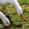 2015-08-12: Close up of two of the geese during an afternoon outing to the pond.
