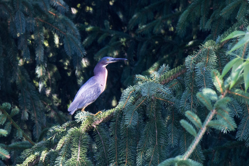 2015-08-05 The first time I saw the (one of the?) mature green herons. I flushed it from the edge of the pond in the morning. It initially flew to the top of one of the willows and then off to the treeline between the Lovette's and the neighbors oon the westish side.