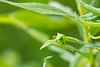 2015-08-10: What I believe to be a treehopper (Family Membracidea)