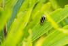 2015-08-10 Chrysomelid beetle - looks like a Trirhabda canadensis.