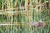 2015-08-12: There were two turtles in the pond this morning. One here.