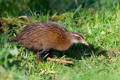 Weka, Greymouth, SI, NZ, Aug 2018-2