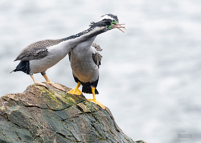 Spotted Shag, Greymouth, SI, NZ, Sep 2018-16