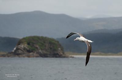 Southern Royal Albatross, Stewart Island Pelagic, SI, NZ, Jan 2013-3