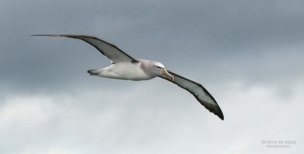 Salvin's Albatross, Stewart Island Pelagic, SI, NZ, Jan 2013-1