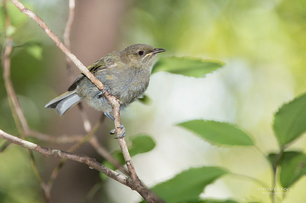 Bellbird, Ulva Island, SI, NZ, Jan 2013