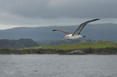 Shy Albatross, Stewart Island Pelagic, SI, NZ, Jan 2013-1