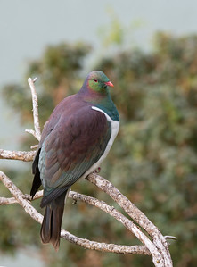 New Zealand Pigeon, Stewart Island, SI, NZ, Jan 2013