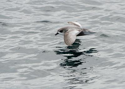 Mottled Petrel, Stewart Island Pelagic, SI, NZ, Jan 2013