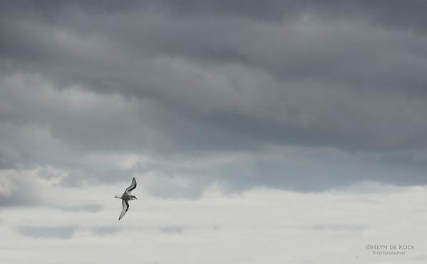 Mottled Petrel, Stewart Island Pelagic, SI, NZ, Jan 2013-2