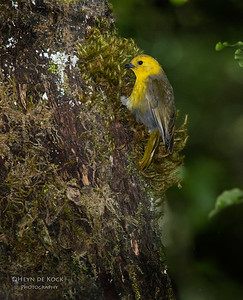Yellowhead, Ulva Island, SI, NZ, Jan 2013
