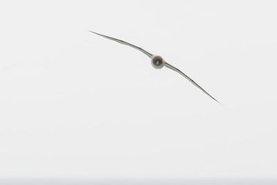 Light-mantled Albatross (Phoebetria palpebrata)
