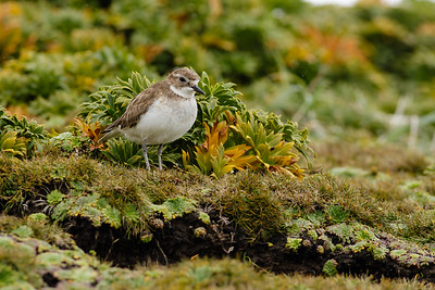 Auckland Double-banded Plover (Charadrius bicinctus exilis)