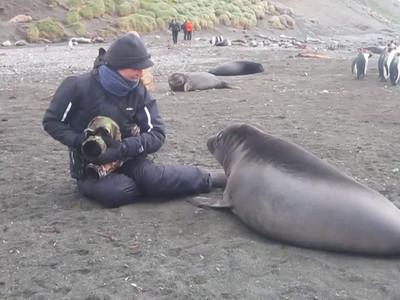 Video: Raja and Southern Elephant Seal (Mirounga leonina) weaner