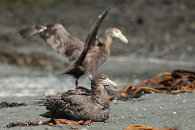 Northern Giant-Petrel (Macronectes halli) and Southern Giant-Petrel (Macronectes giganteus)