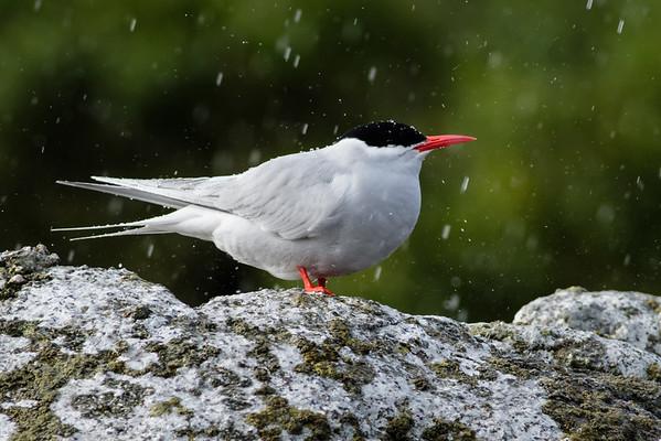 Antarctic Tern (Sterna vittata bethunei)