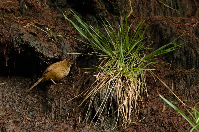 Snares Fernbird  (Megalurus [punctatus] caudatus)