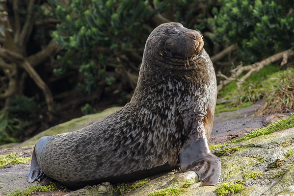 New Zealand Sea Lion (Phocarctos hookeri)