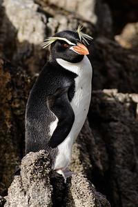 Snares Penguin (Eudyptes robustus)