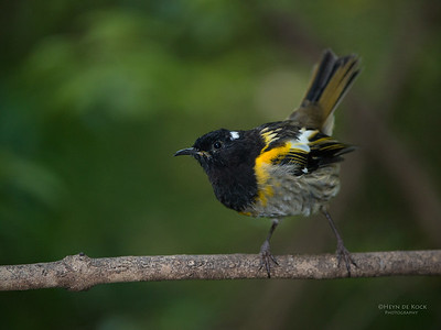 Stitchbird, Tiritiri Matangi, NZ, March 2015-4