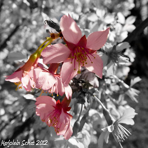 74. The cherry trees are bursting with blooms. 03-14-2012