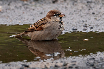 House Sparrow - male - Portobella, NZ