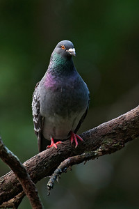 Rock Pigeon - Auckland, NZ