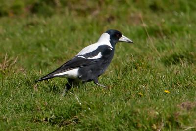 Australian Magpie - male - Weir Rd - Otago Peninsula, NZ