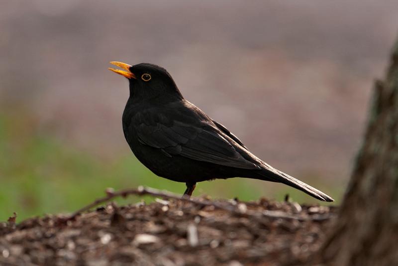Blackbird - male 01 - Auckland, NZ