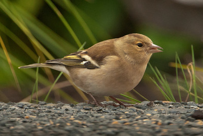 Chaffinch - female - Kaikoura, NZ
