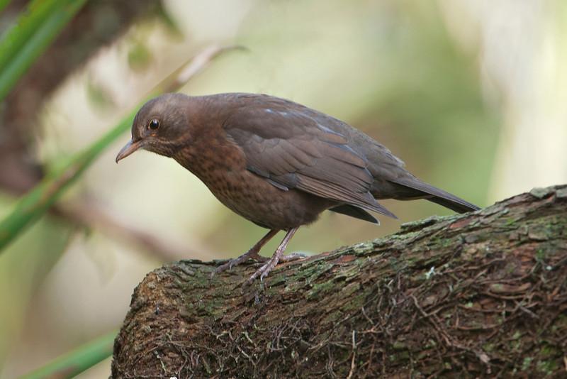 Blackbird - female - Auckland, NZ