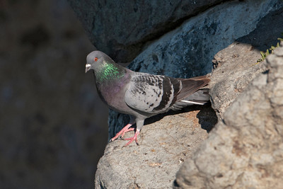 Rock Pigeon - Albatross Centre - Otago Bay, NZ