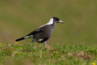 Australian Magpie - female - Weir Rd - Otago Peninsula, NZ